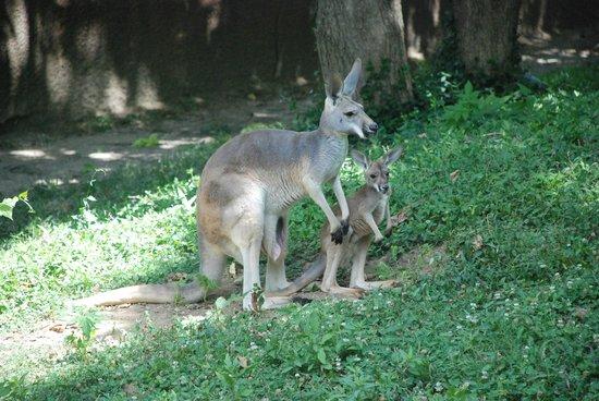 St. Louis Zoo: Kanga + Roo