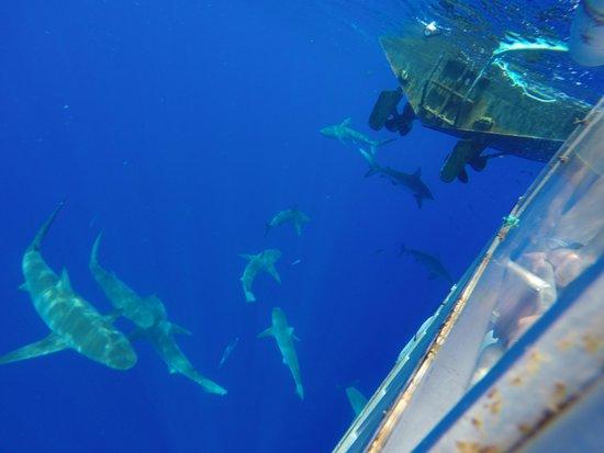 North Shore Shark Adventures: So Many Sharks