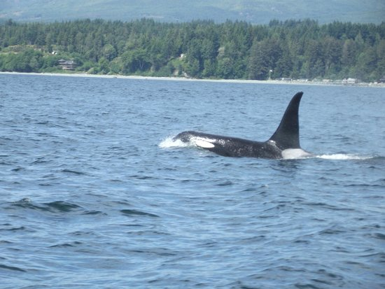 Eagle Wing Whale Watching Tours: Male Orca