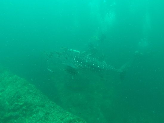 Dive & Relax: Whale Shark at Koh Haa