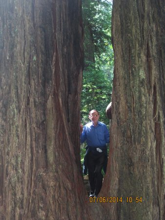 Avenue of the Giants: On a Living Double V tree
