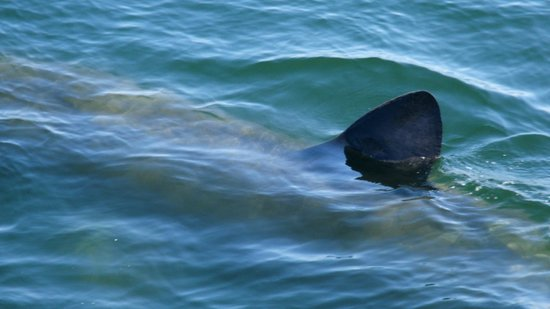 Cap'n Fish's Whale Watch: Basking Shark