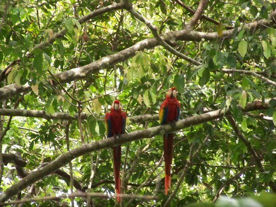 El Remanso Lodge: Two scarlet macaws viewed from the trail
