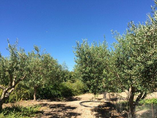 Azienda Agricola Mandranova: the olive grove