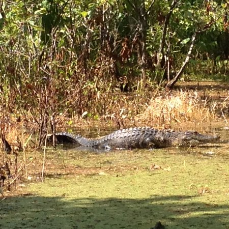 Champagne's Cajun Swamp Tours: One of the alligators spotted during the tour