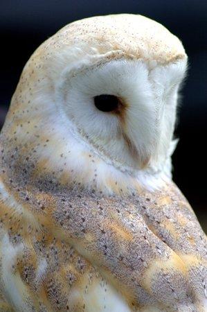 Ray Prior Falconry: Barn Owl
