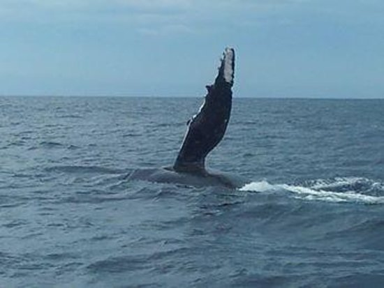 Whales in Paradise - Gold Coast Whale Watching Pty Ltd : whales off gold coast
