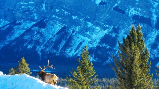 Tunnel Mountain Drive: Good Morning Elk- A Surprise