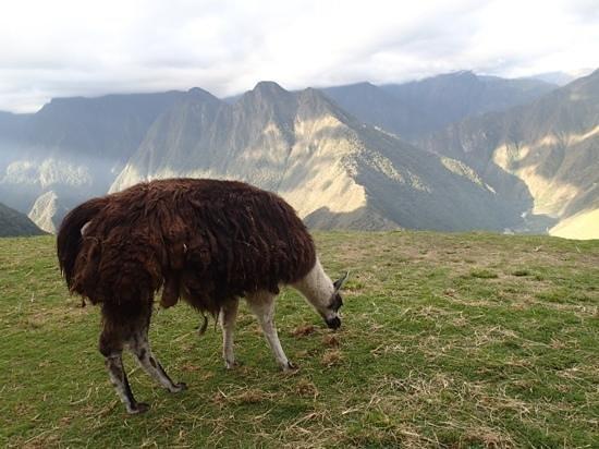 Camino Inca: llama!