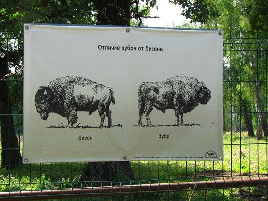 Serpukhovsky District, Russia: Отличия бизона от зубра