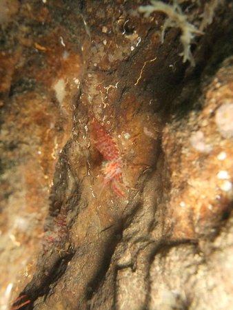 Strytan Divecenter : shrimp , big strytan