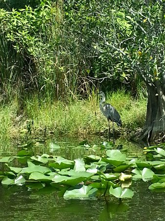 Everglades Holiday Park : Great blue heron