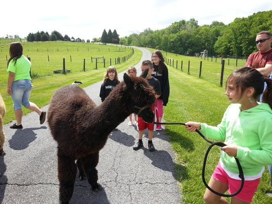 Airy Hill Farm B&B : ava walking the alpacas