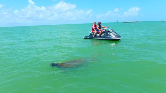 Capt. Ron's Awesome Everglades Adventures : Manatee