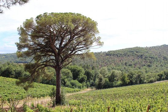Fattoria il Palagio: View of the cool old tree on the drive in