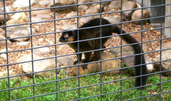 David Traylor Zoo of Emporia: Collared Lemur
