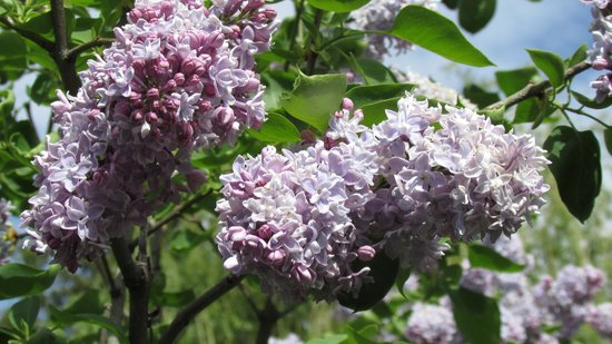 McLaren Lodge Bed & Breakfast: Smell the lilacs!!