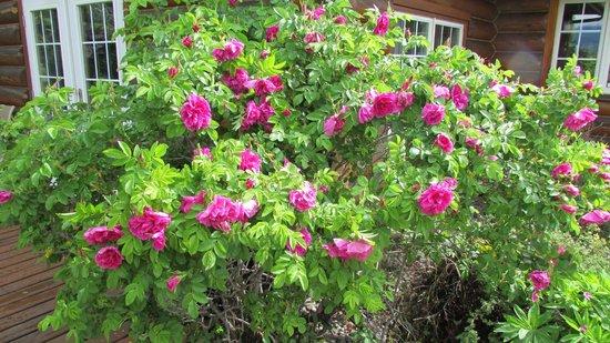 McLaren Lodge Bed & Breakfast : Rose Bush