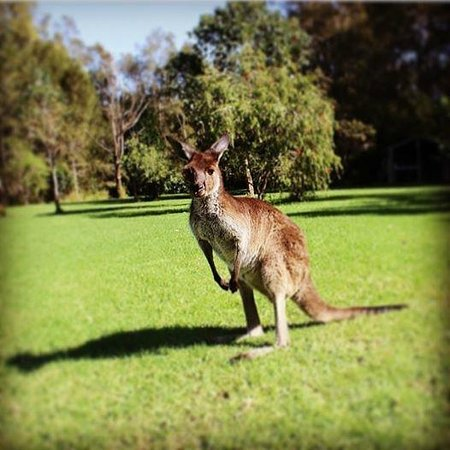 Melaleuca Surfside Backpackers: Josie the Kangaroo