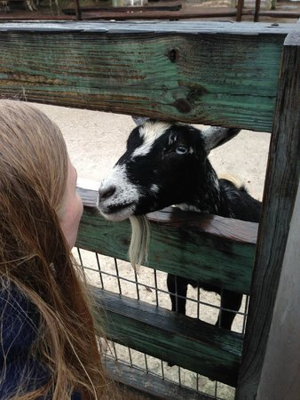 Tampa's Lowry Park Zoo: goat in petting zoo