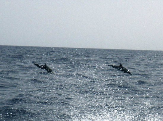 Blackbird Caye Resort: Dolphins in the water while on our way to the Blue Hole