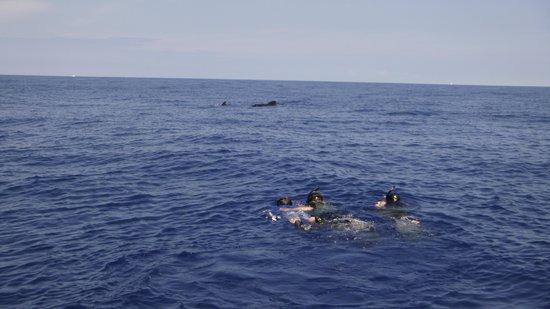 Wild Hawaii Ocean Adventures (WHOA): Snorkeling with pilot whales