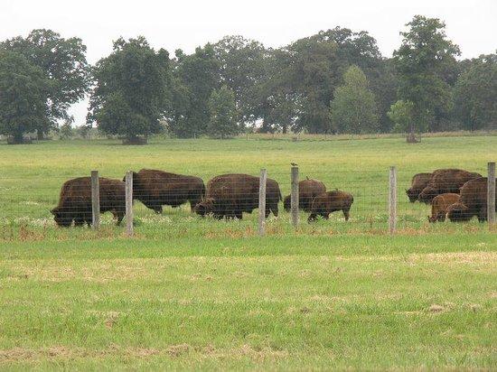 Fermi National Accelerator Laboratory: Buffalo herd on site