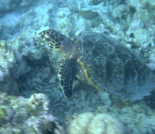 Embudu Village: Our second sight of a turtle