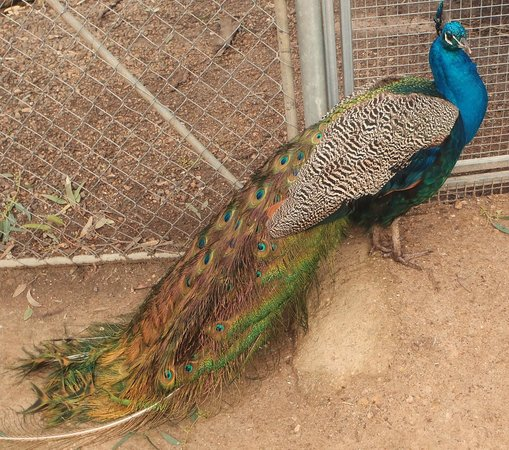 Halls Gap Zoo: Lots of beautiful peacocks throughout the zoo