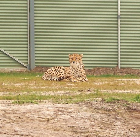 Halls Gap Zoo: I could look at this Cheetah for hours..