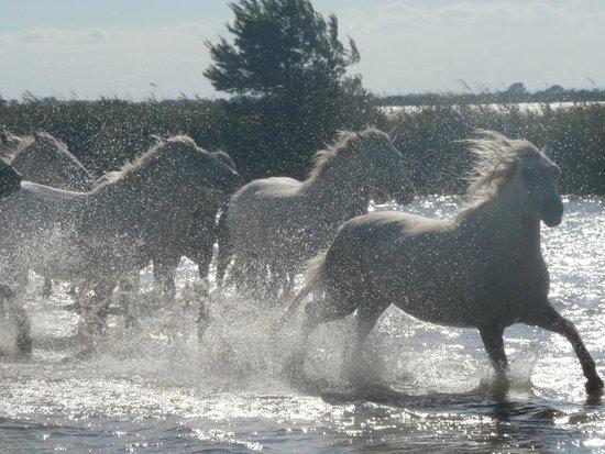Camargue Sauvage safari 4x4 : Galop des juments dans les marécages