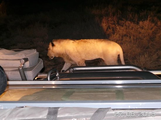 Singita Lebombo Lodge : A lioness passing withing meters of our vehicle on a night safari.