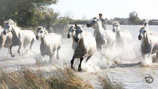 Camargue Sauvage safari 4x4 : chevaux sauvage