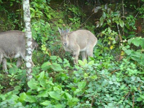 Rajamalai (Eravikulam) National Park : Mountain Goat