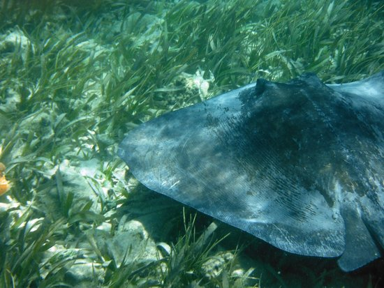 Tsunami Adventures: Bull ray