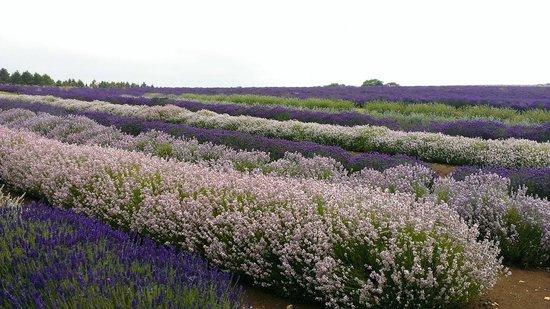 Cotswold Lavender : Purple, lilac, pink