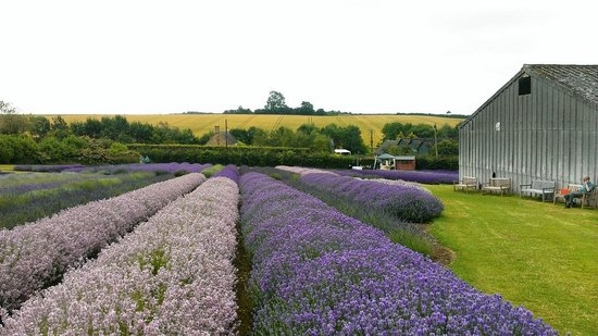 Cotswold Lavender : so beautiful