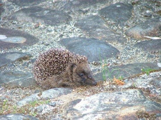 Plas Cadnant Hidden Gardens: hedgehog outside our back door