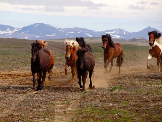Riding Tours South Iceland: our horses
