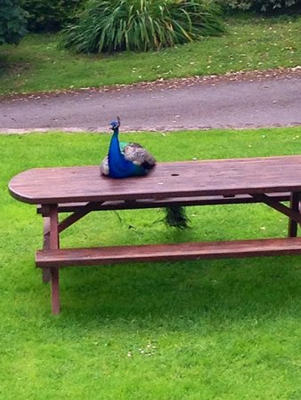 Blessingbourne Apartments: Peacock picnic