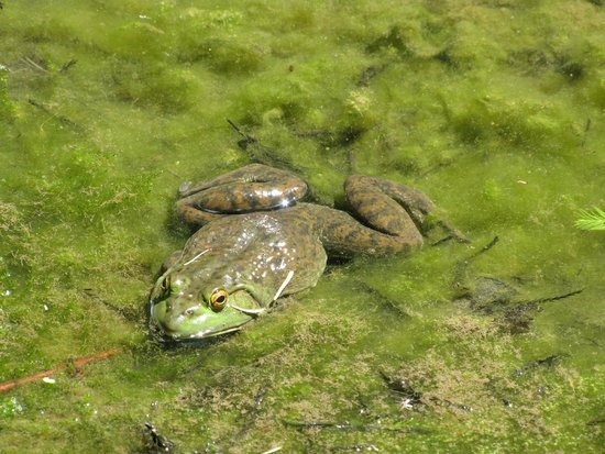 Dawes Arboretum: Many frogs were croaking in the Cypress Woods/Swamp.