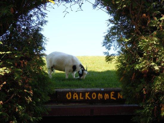 Al Johnson's Swedish Restaurant & Butik : Goat on the roof!!