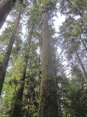 MacMillan Provincial Park: The oldest tree in Cathedral Grove