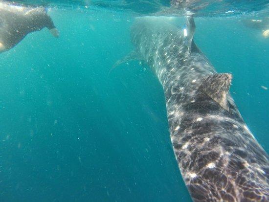 DiveMex: Whale sharks