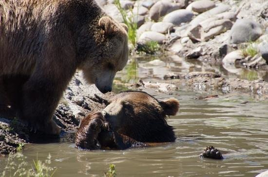Montana Grizzly Encounter: Can we share ??? Please !!!!