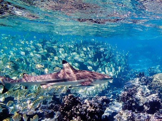 Snorkeling at Lagoonarium, Moorea
