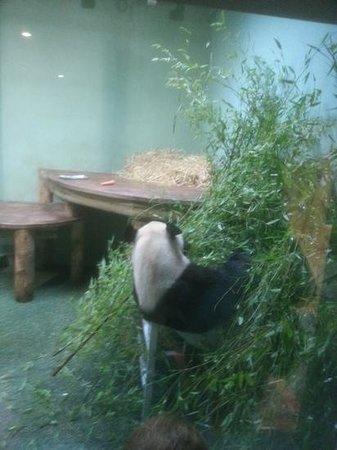 Edinburgh Zoo: male panda