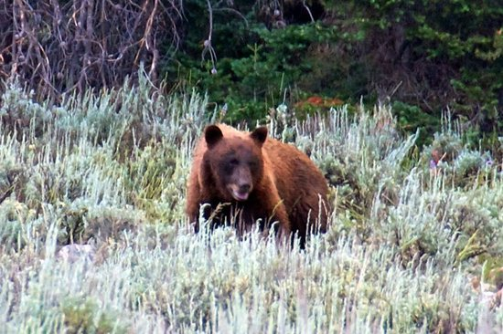 Jackson Hole Eco Tour Adventures : Black Bear joined us