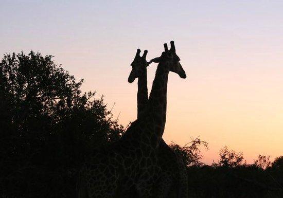 MalaMala Sable Camp: Giraffes