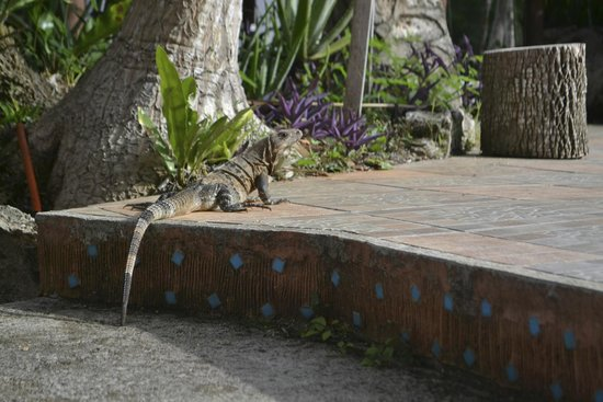Hotel Dolores Alba Chichen: Lots of these guys running around! (but harmless)